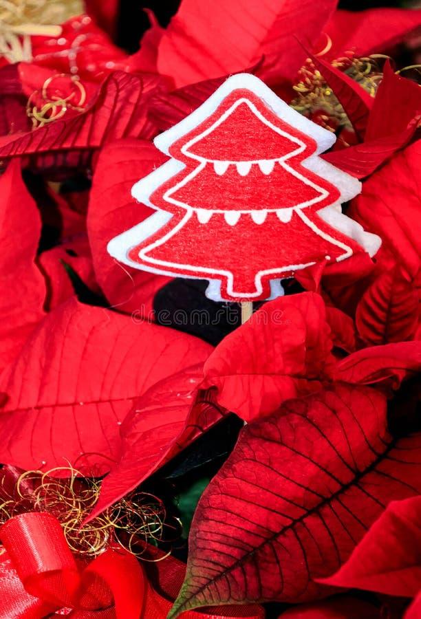 Flores rojas de Pulcherrima del euforbio de la poinsetia foto de archivo libre de regalías