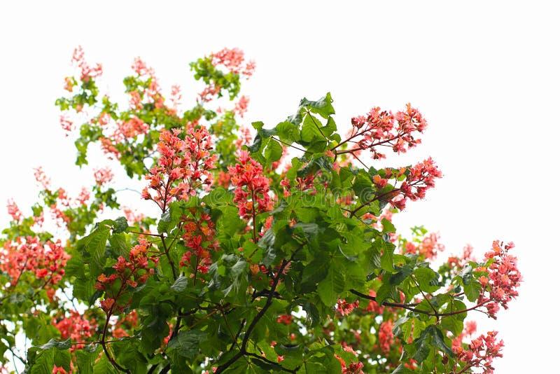 Flores rojas del árbol de castaña fotos de archivo libres de regalías