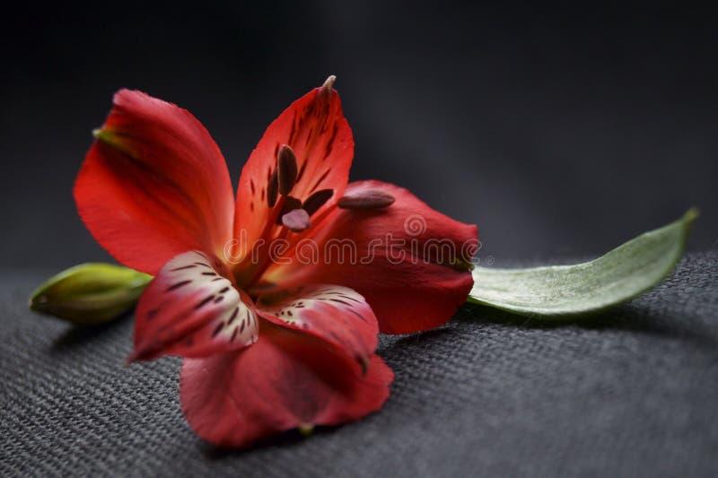 Flores rojas del alstroemeria, lirio peruano o lirio de los incas fotos de archivo
