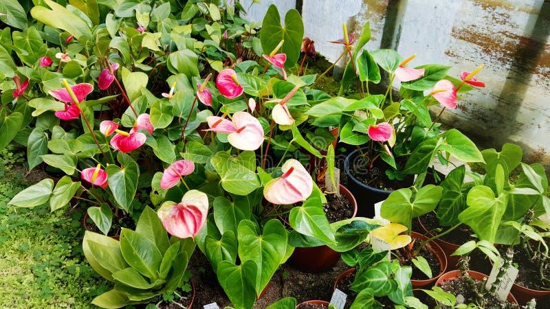 Flores rojas del Anthurium en Sofia Botanical Garden imagenes de archivo