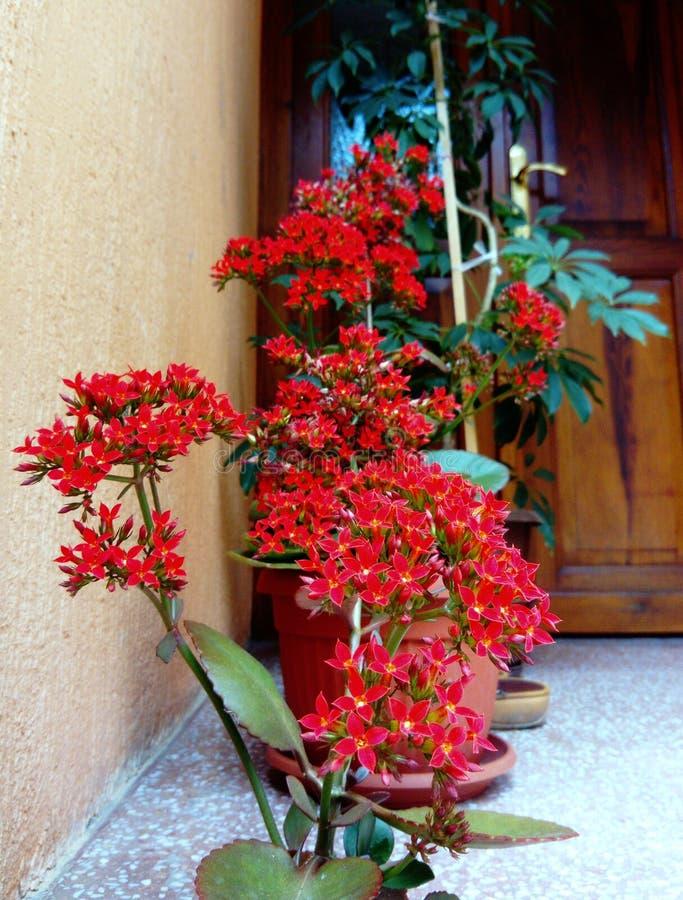 Flores rojas del blossfeldiana de Kalanchoe foto de archivo libre de regalías
