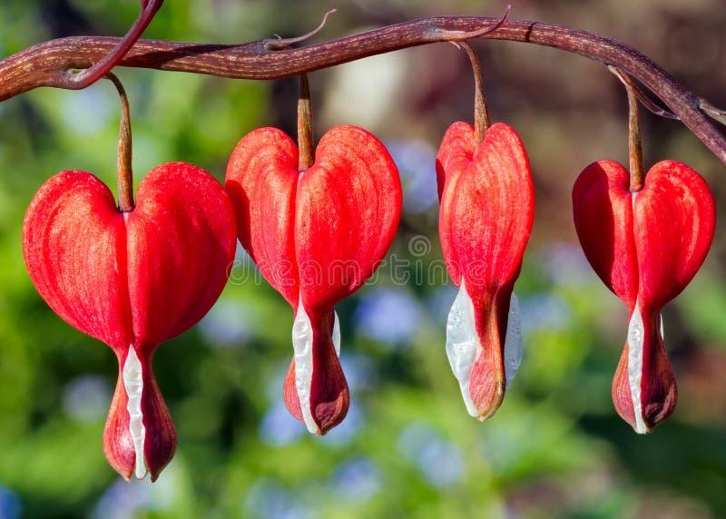 Flores rojas del corazón sangrante imágenes de archivo libres de regalías