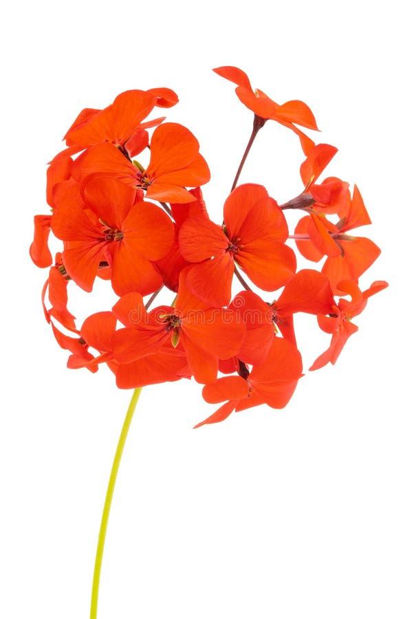 Flores rojas del geranio de Hortorum del Pelargonium aisladas en el fondo blanco foto de archivo libre de regalías