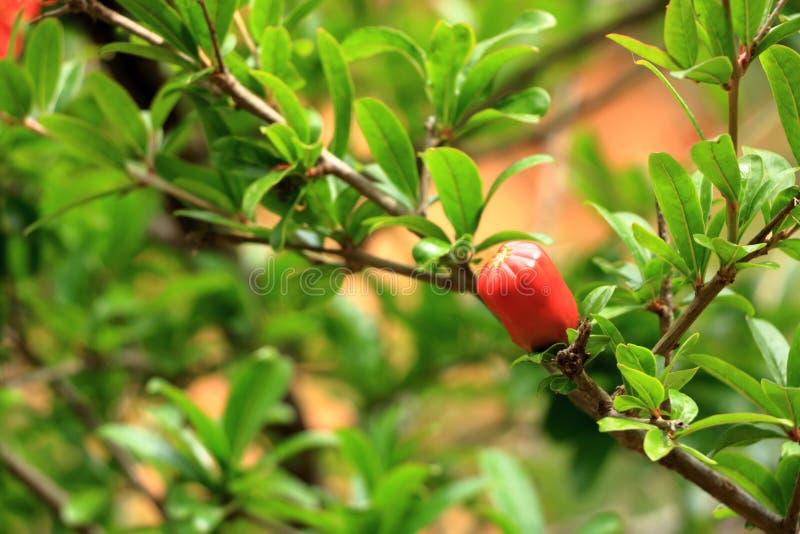 Flores rojas del granatum del Punica en el árbol, flor de la granada en Creta en Grecia fotos de archivo libres de regalías