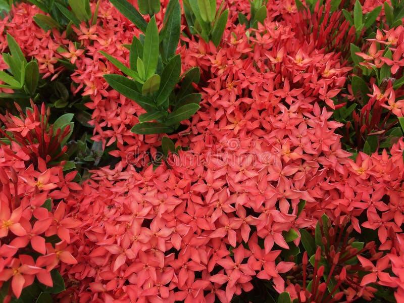 Flores rojas del ixora que florecen en jardín fotos de archivo libres de regalías