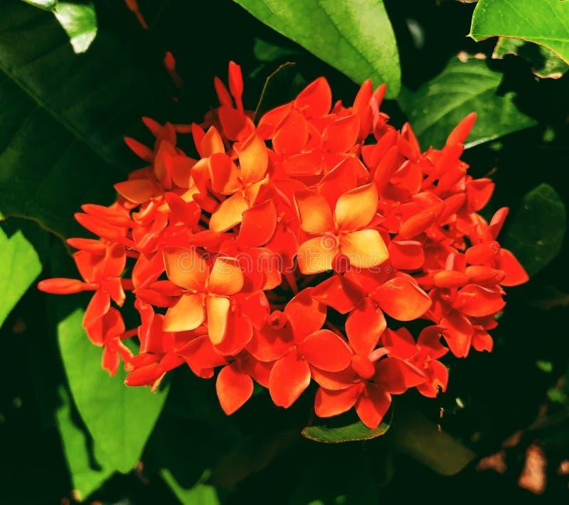 Flores rojas del ixora que florecen en verano fotografía de archivo