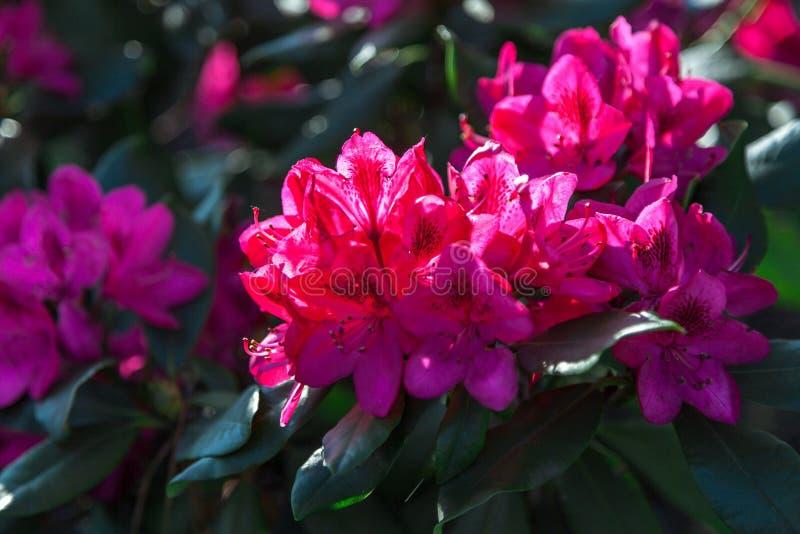 Flores rojas del rododendro en arbusto verde imagenes de archivo