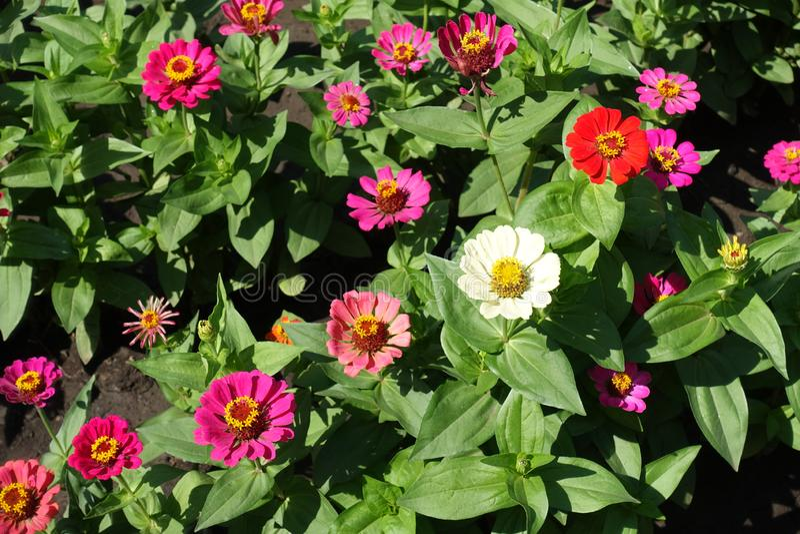 Flores rojas, del rosa, de la naranja, blancas y magenta-coloreado coloridas del zinnia imagen de archivo