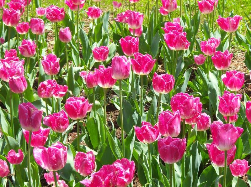 Flores rojas del tulipán de Pinklish que todas las madres amarán foto de archivo libre de regalías