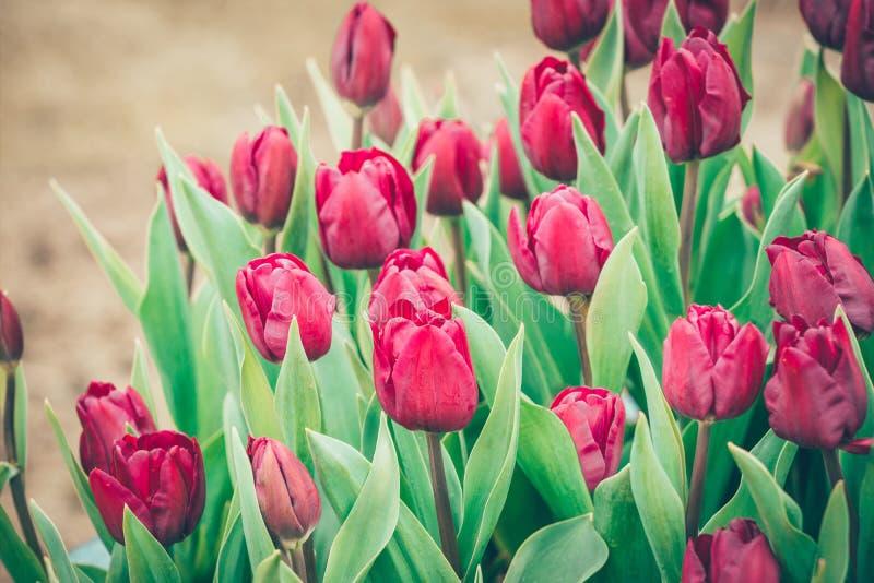 Flores rojas del tulipán en el jardín imágenes de archivo libres de regalías