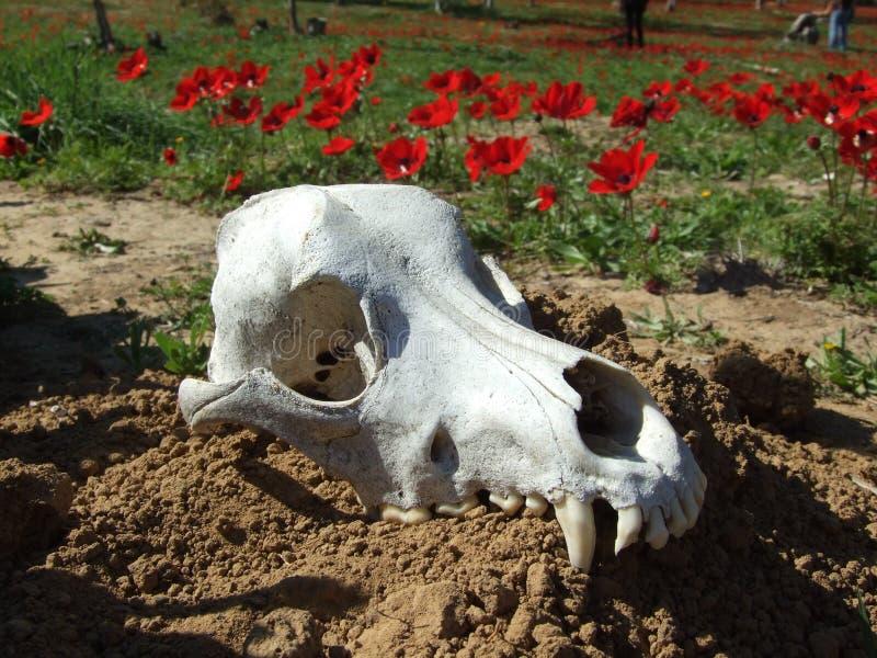 Flores rojas en Israel meridional fotografía de archivo libre de regalías
