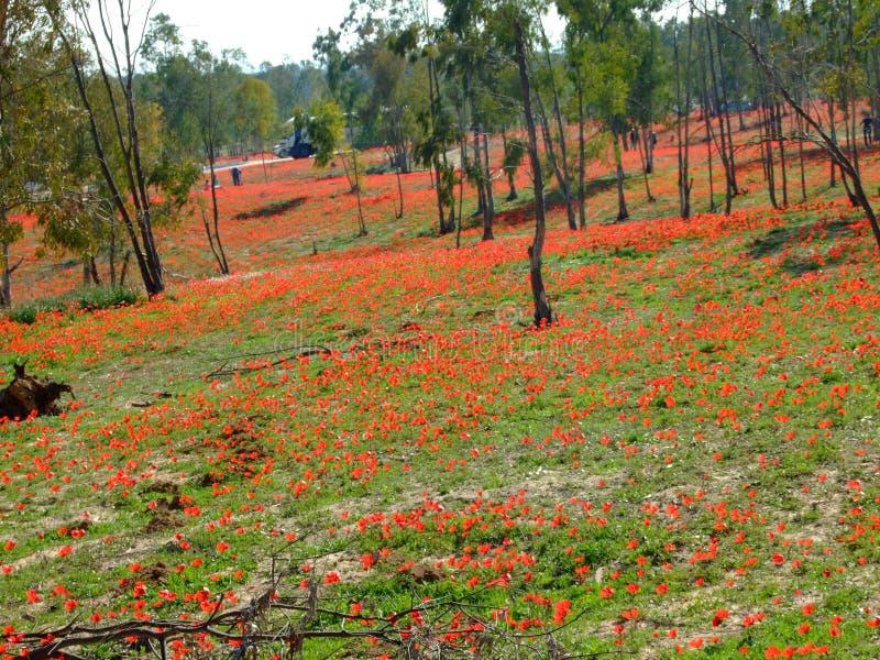 Flores rojas en Israel meridional foto de archivo libre de regalías