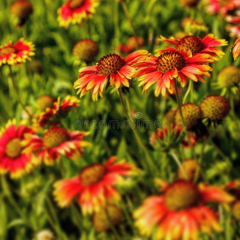 Flores rojas en jard?n fotos de archivo libres de regalías
