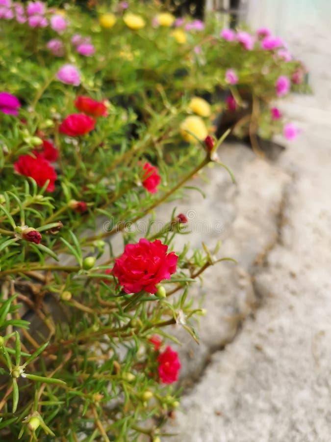 Flores rojas en potes de la planta en pisos del cemento fotografía de archivo