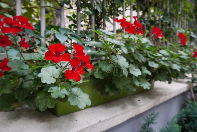 Flores rojas en un pote en la ventana adornamiento de hogares y de Windows del exterior, del amor de flores crecientes y de las p fotos de archivo libres de regalías