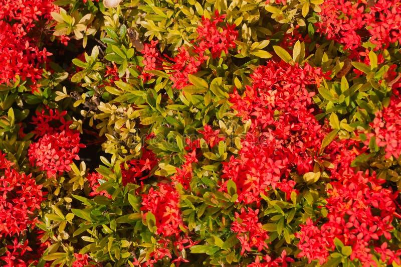 Flores rojas florecientes de Ixora foto de archivo libre de regalías