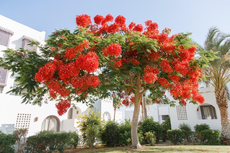 Flores rojas florecientes del árbol del regia del Delonix fotos de archivo libres de regalías