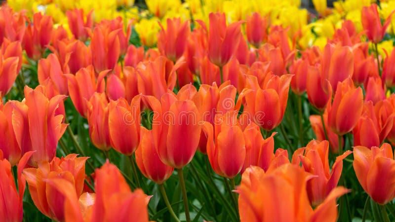 Flores rojas hermosas del tulipán en jardín de la primavera fotografía de archivo
