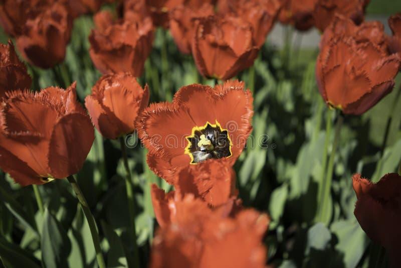 Flores rojas holandesas foto de archivo