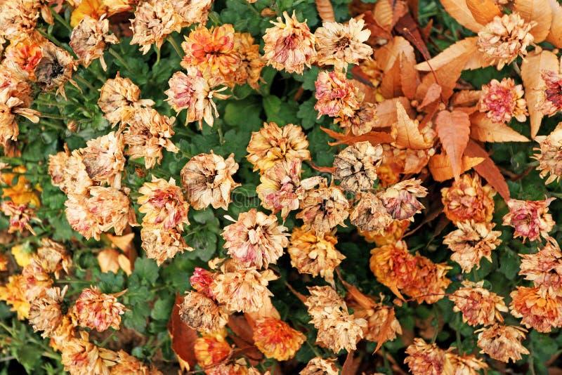 Flores rojas marchitadas en la primavera fotos de archivo