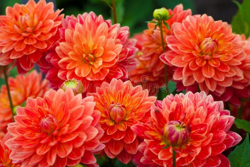 Flores rojas o anaranjadas de la dalia en la plena floración del jardín fotografía de archivo libre de regalías