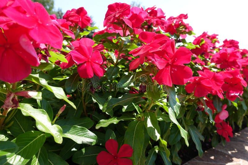 Flores rojas rosáceas del roseus del Catharanthus foto de archivo libre de regalías