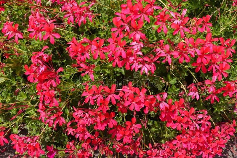 Flores rojas rosáceas vibrantes del geranio hiedra-con hojas fotografía de archivo libre de regalías