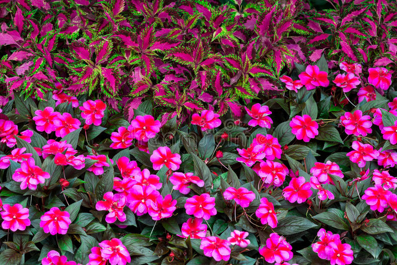 Flores rojas, rosadas y púrpuras foto de archivo