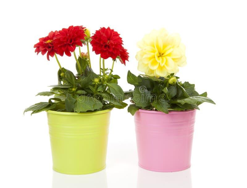 Flores rojas y amarillas de la dalia en pote foto de archivo libre de regalías