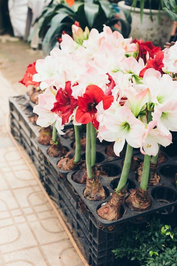 Flores rojas y blancas de Amaryllis en pote fotos de archivo libres de regalías