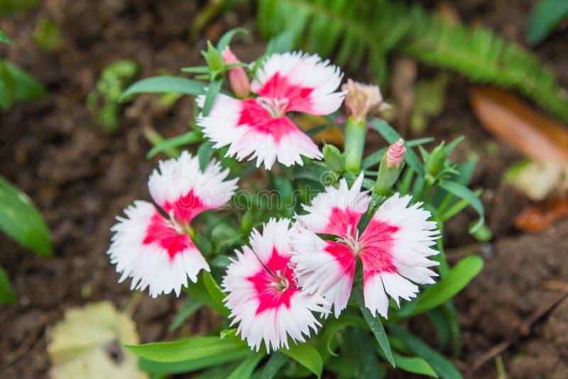 Flores rojas y blancas del clavel salvaje imágenes de archivo libres de regalías