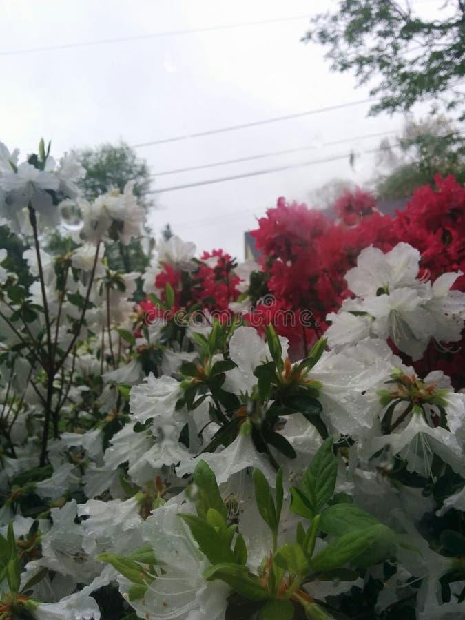 Flores rojas y blancas en lluvia foto de archivo libre de regalías