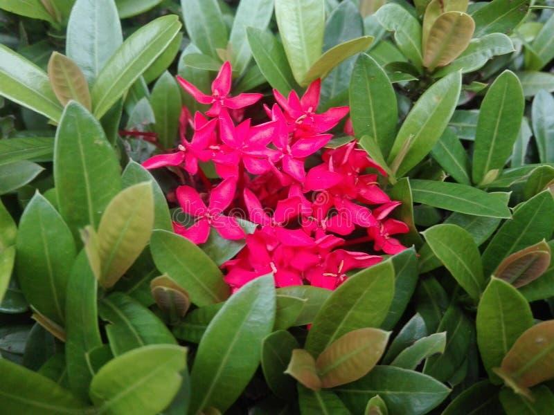 Flores rojizas atractivas con las hojas verde vestidas fotografía de archivo libre de regalías