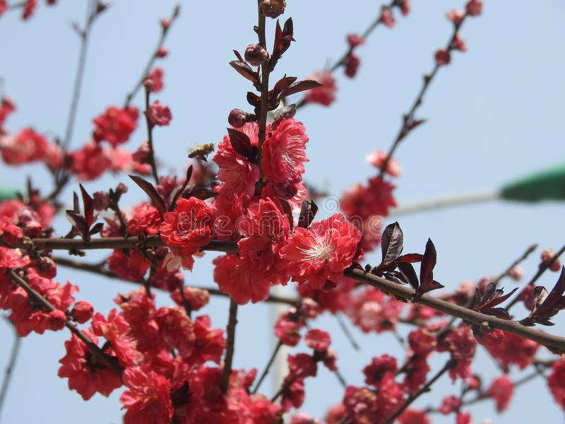 Flores rojos brillantes del ciruelo de Wintersweet imagenes de archivo