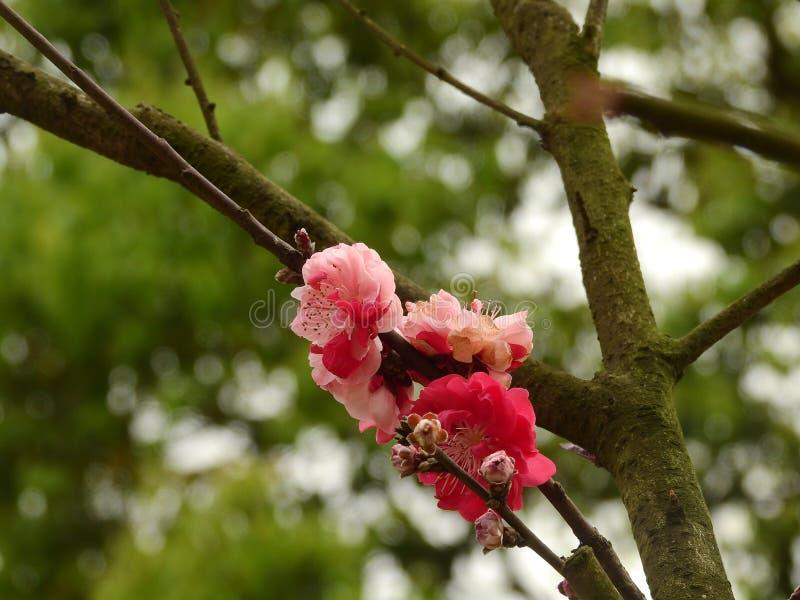 Flores rojos brillantes del ciruelo de Wintersweet foto de archivo