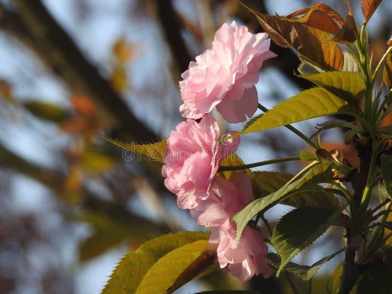 Flores rojos brillantes del ciruelo de Wintersweet foto de archivo libre de regalías