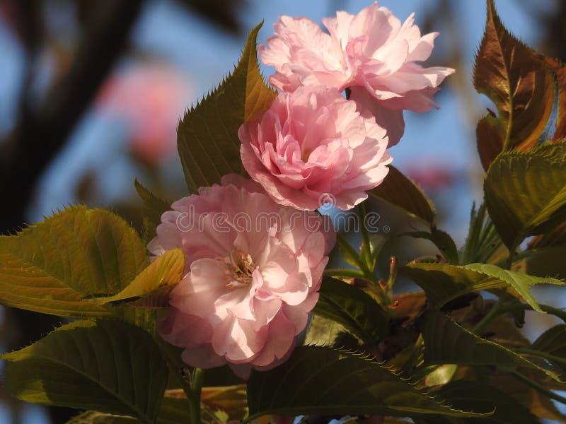 Flores rojos del ciruelo del 'Bright del ¼ à del 'de Wintersweet ïÅ fotografía de archivo libre de regalías