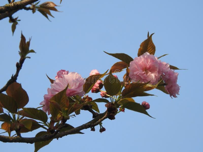 Flores rojos del ciruelo de ŒBright del ¼ del ï de Wintersweet foto de archivo libre de regalías