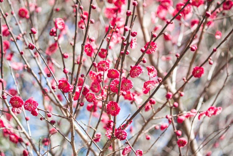 Flores rojos del ciruelo en invierno fotos de archivo
