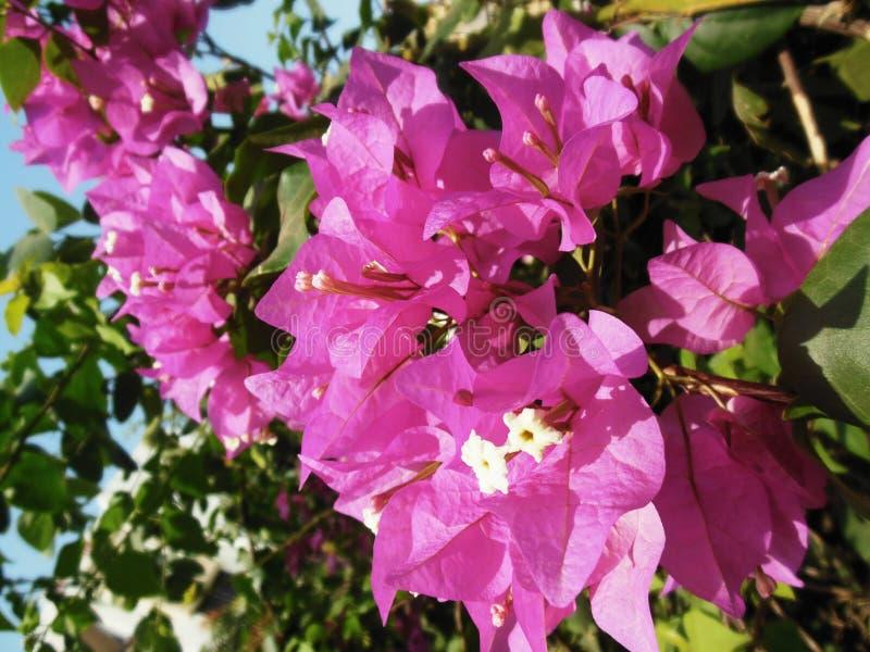 Flores rosáceas imagen de archivo libre de regalías