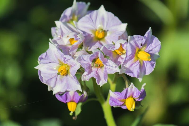 Flores rosáceas de una planta de patata imagen de archivo