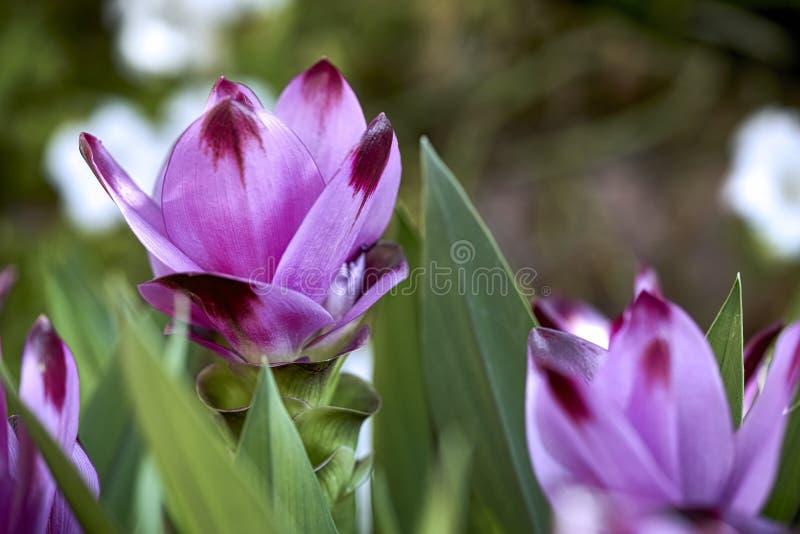 Flores rosáceas del alismatifolia de la cúrcuma en el jardín fotos de archivo