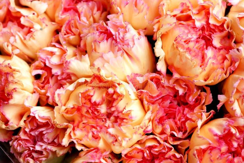 Flores rosáceas del clavel foto de archivo libre de regalías