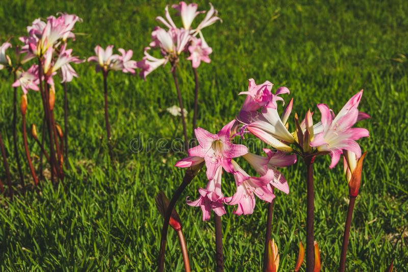 Flores rosa amaryllis belladonna num campo na costa norte da ilha de São Miguel, Açores, Portugal fotos de stock royalty free