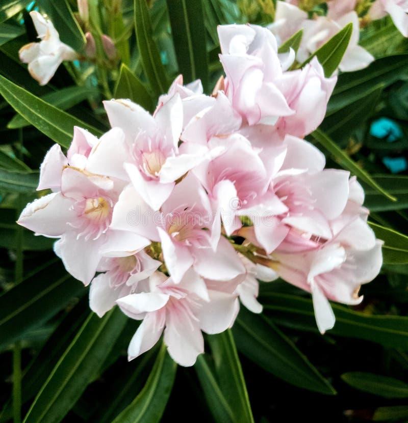 Flores rosa pálidas foto de stock