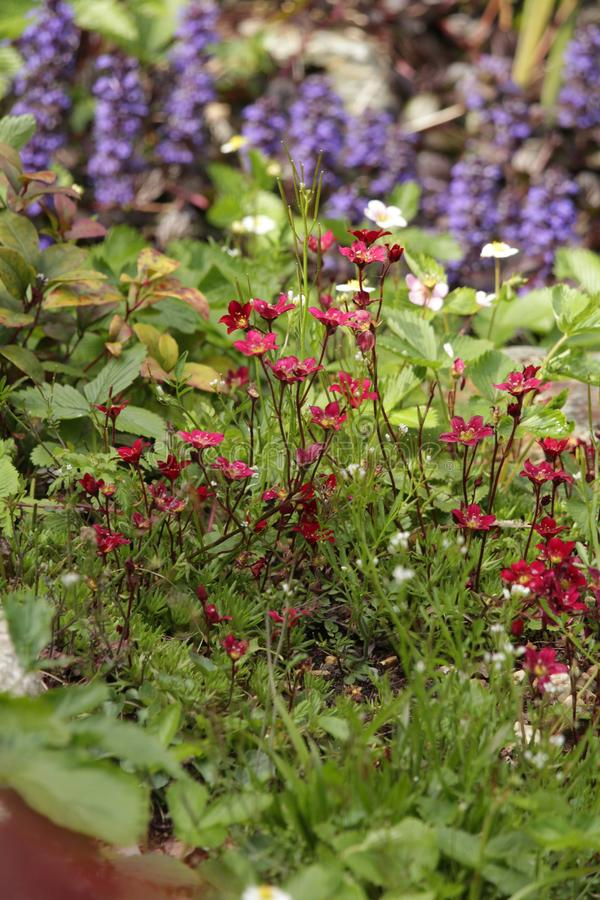 Flores rosa y formato del jardín de rocalla de retrato azul fotos de archivo libres de regalías