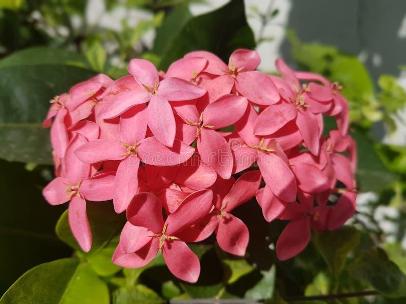 Download Flores rosadas imagen de archivo. Imagen de jardín, flor - 100528959
