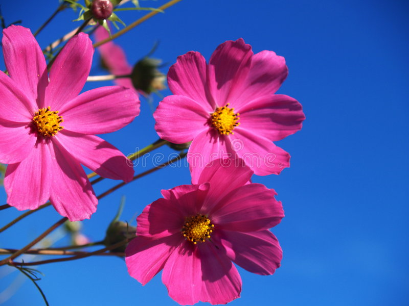 Download Flores rosadas foto de archivo. Imagen de valentine, floral - 1286138