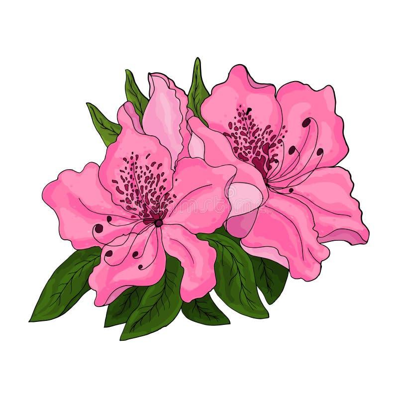 Flores rosadas brillantes de la azalea con follaje verde en un fondo blanco stock de ilustración