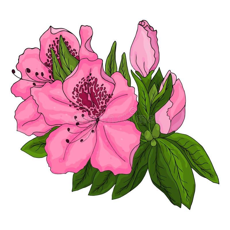 Flores rosadas brillantes de la azalea con follaje verde en un fondo blanco libre illustration